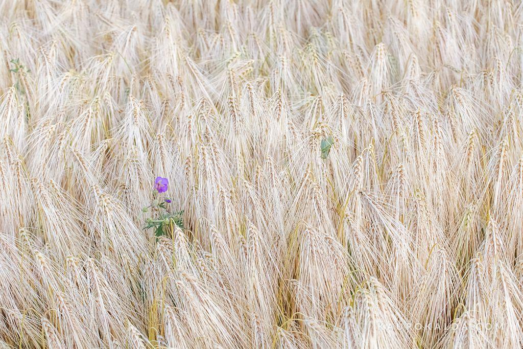 Viljapõld tirtsu ja lillega